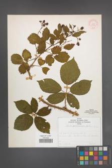 Rubus wimmerianus [KOR 51997]
