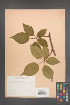 Rubus wimmerianus [KOR 22946]
