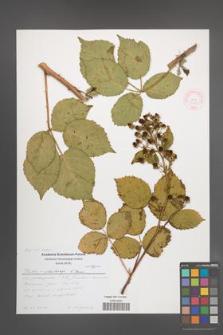 Rubus orthostachys [KOR 51282]