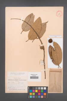 Castanopsis poilanei [KOR 12511]