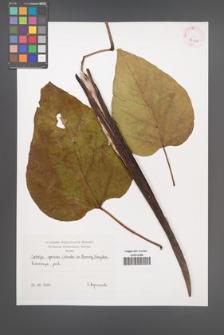 Catalpa speciosa [KOR 42608]