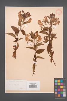 Ceanothus americanus [KOR 33989]