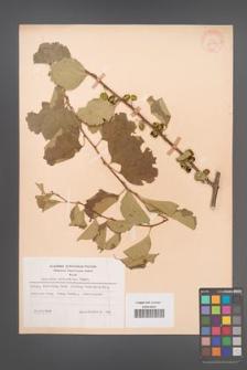 Celastrus orbiculatus [KOR 28291]