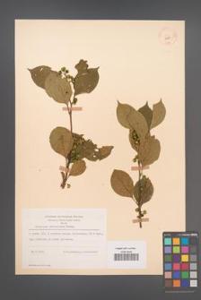 Celastrus orbiculatus [KOR 12581]