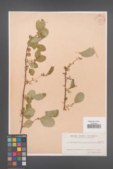 Celastrus punctata [KOR 871]