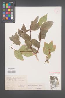 Celtis caucasica [KOR 12578]