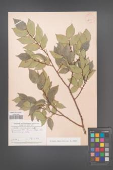 Celtis caucasica [KOR 24733]