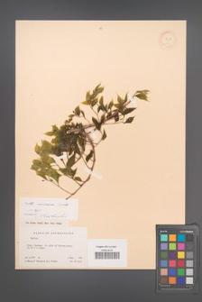 Celtis caucasica [KOR 12566]