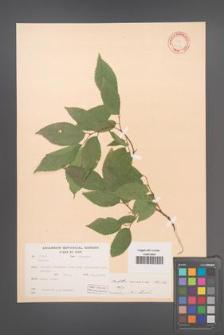 Celtis caucasica [KOR 12551]