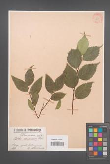 Celtis caucasica [KOR 865]