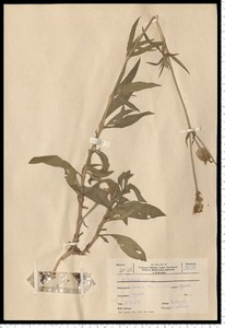 Melandrium album (Mill.) Garcke