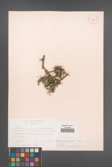 Celtis glabrata [KOR 12609]