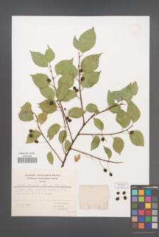 Celtis planchoniana [KOR 49275]