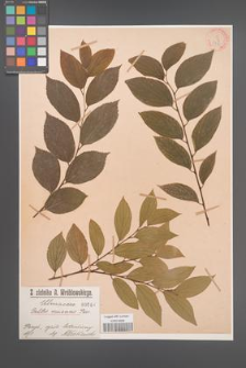 Celtis sinensis [KOR 846]