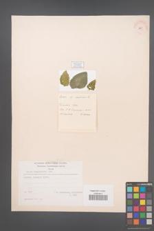 Celtis tournefortii [KOR 21326]