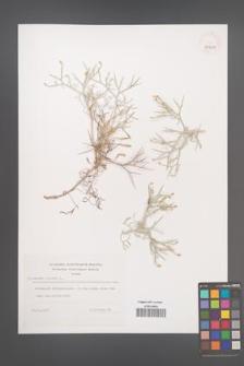 Centaurea spinosa [KOR 39309]