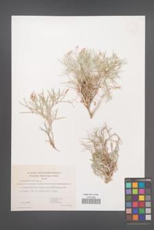 Centaurea spinosa [KOR 49292]