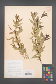 Salix acutifolia [KOR 36429]