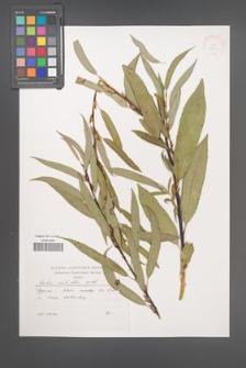 Salix acutifolia [KOR 38069]