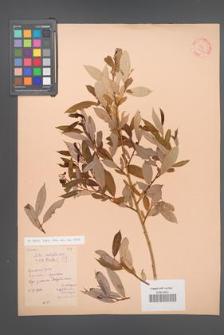 Salix [KOR 23905]