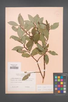 Salix aegyptiaca [KOR 19114]