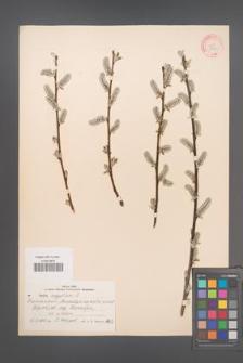 Salix aegyptiaca [KOR 18773]
