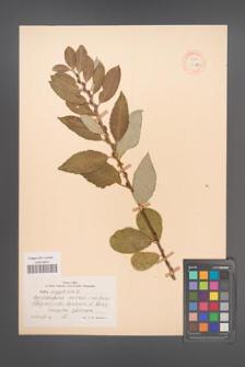 Salix aegyptiaca [KOR 18769]