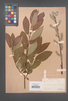 Salix aegyptiaca [KOR 36436]