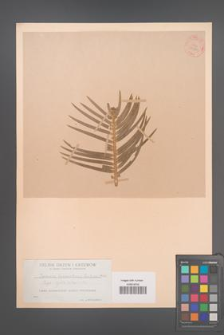 Cephalotaxus fortuni [KOR 54380]