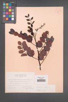 Ceratonia siliqua [KOR 12650]