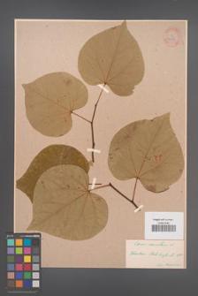 Cercis canadensis [KOR 34171]
