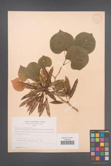 Cercis chinensis [KOR 28318]