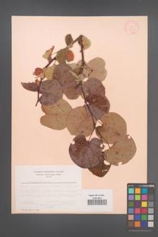 Cercis siliquastrum [KOR 12647]