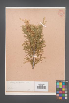 Chamaecyparis lawsoniana [KOR 34040]
