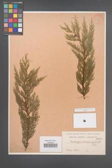Chamaecyparis nootkaensis [KOR 798]