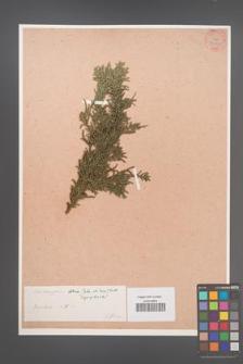 Chamaecyparis obtusa [KOR 34042]