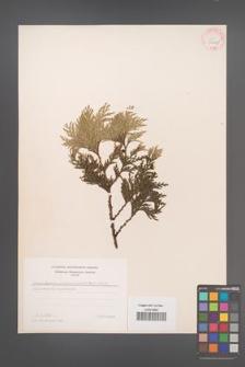 Chamaecyparis pisifera [KOR 34047]