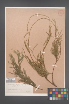 Chamaecyparis pisifera [KOR 34049]