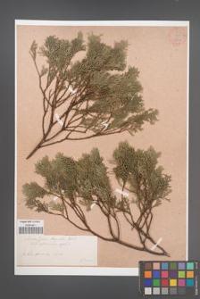 Chamaecyparis thyoides [KOR 34055]