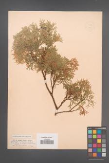 Chamaecyparis thyoides [KOR 12657]