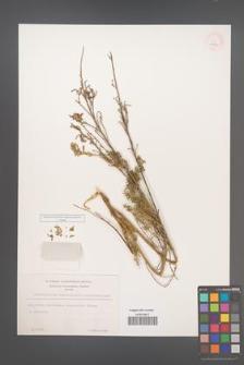 Chamaecytisus absinthioides [KOR 12722]