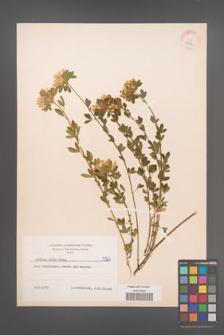 Cytisus albus [KOR 5924]