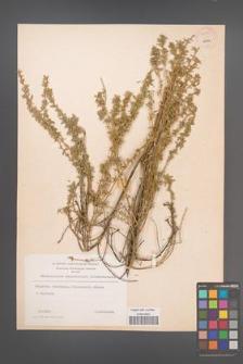 Chamaecytisus absinthioides [KOR 54572]