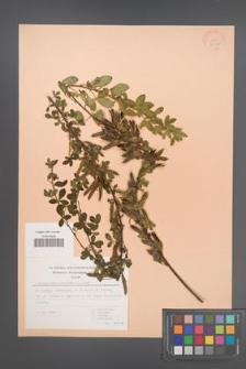 Chamaecytisus hirsutus [KOR 30120]
