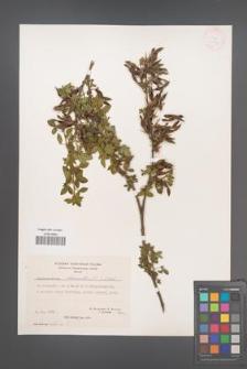 Chamaecytisus hirsutus [KOR 21377]