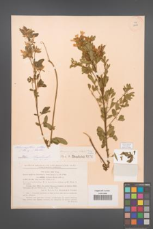 Chamaecytisus albus [KOR 12684]
