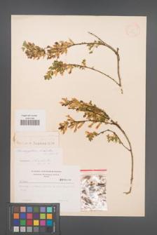 Chamaecytisus supinus [KOR 12689]
