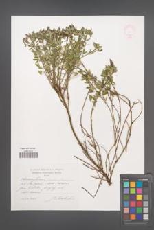 Chamaecytisus hirsutus [KOR 44824]