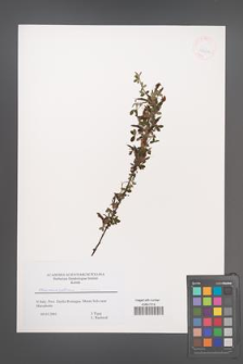 Chamaecytisus leiocarpus [KOR 43634]