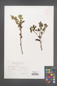 Chamaecytisus leiocarpus [KOR 44847]